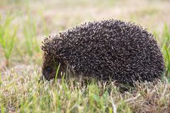 Small wild hedgehog Stock Photo