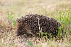Small wild hedgehog Stock Images