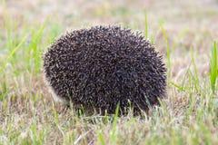Small wild hedgehog Royalty Free Stock Photo