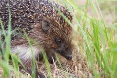 Small wild hedgehog Stock Image