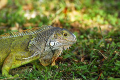 Small wild Iguana Royalty Free Stock Image