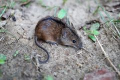 A small wild field mouse poses for a photo Apodemus agrarius royalty free stock images