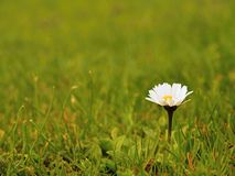 Small wild pansy in blossom in  blurred fresh green grass Royalty Free Stock Photo