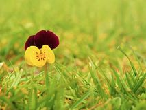 Small wild pansy flower in blossom, Stock Image