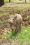 Small wild pig Stock Photography