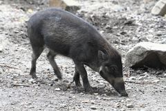 Small wild pig Royalty Free Stock Photography