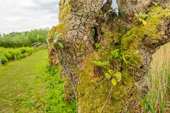 Small wild plants  growing in the hole sof a willow tree. Small wild plants growing in the holes of an old pollard willow tree. The picture in Dutch national Stock Photography