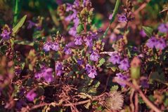 Small wild purple flowers in the field royalty free stock photography