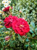 Small wild rose inflorescences with water drops on petals and leaves royalty free stock photos
