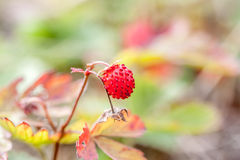 Small wild strawberries in the forest. Wild strawberries in the forest can be used as background Stock Photos
