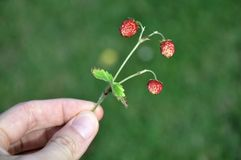 Small wild strawberries Stock Photo