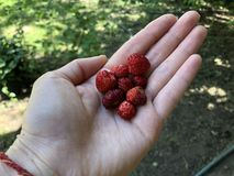 Hand-picked small wild strawberries are laying in hand. stock images