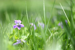 Small Wild Violet Flower in Green Grass Background Stock Photography