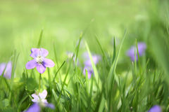 Small Wild Violet Flower in Green Grass Background Stock Photo
