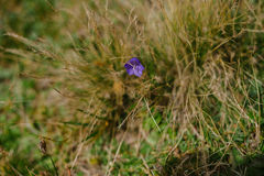 Small Wild Violet Flower in Green Grass Royalty Free Stock Photos