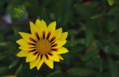 Small wild yellow flower stock photos