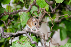 Small wilde mouse on a walnut tree Stock Images