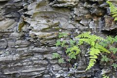 Small wildflower and ferns rowing on rocks. Gorge wall at Watkins Glen close up of plants royalty free stock photo