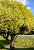 Small Willow Tree Royalty Free Stock Images