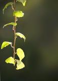 Small wine twig Stock Photos