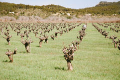 Small wine yard in spain Royalty Free Stock Image
