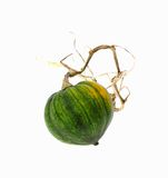 Small Winter Squash Trailing Dead Vine Royalty Free Stock Images