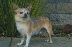 Small Wire haired chihuahua dog looking right stock photography