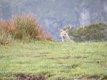 Small wolf (lobo guara) stock photography