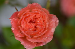 Small Wonder Rose Stock Photos