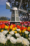 A small wooden windmill amonst tulip fields Royalty Free Stock Photos