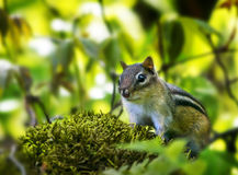 Small Woodland Creature Stock Photo