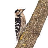 Small woodpecker, female. Woodpecker sitting on a branch isolated on white background Stock Photography