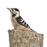 Small woodpecker, female. Woodpecker sitting on a tree stump isolated on white background Stock Photo