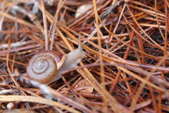 The Small World. A little snail making his way across pinestraw to hide before the sun comes back out Royalty Free Stock Photography