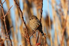 The Fat Songbird. This small Wren is basking in the sun on a nice winter day. The Wren is a small songbird the is a common sight on the wetlands of Jersey stock photo
