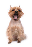 Small Yawning Dog Royalty Free Stock Image