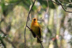 Small yellow African weaver bird outdoors. Taveta Golden Weaver Ploceus castaneiceps perched on twig. Animal Kingdom, Orlando, Florida Royalty Free Stock Photography