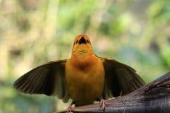 Small yellow African weaver bird outdoors. Taveta Golden Weaver Ploceus castaneiceps perched wings spread. Animal Kingdom, Orlando, Florida Royalty Free Stock Photos
