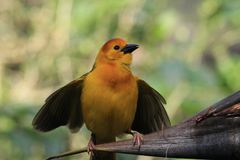 Small yellow African weaver bird outdoors. Taveta Golden Weaver Ploceus castaneiceps perched wings spread. Animal Kingdom, Orlando, Florida Stock Photos