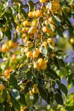 Small yellow apples on branch Stock Images