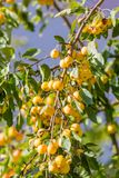 Small yellow apples on branch Stock Image