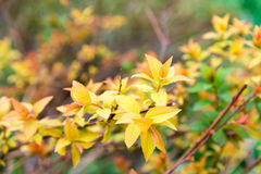 Small yellow autumn leaves on the bush Stock Photography