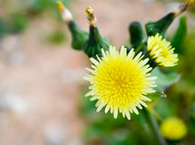 Small yellow beauty Stock Image