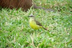 Small yellow bird on the grass Royalty Free Stock Photos