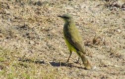 Small yellow bird on the ground Stock Photos
