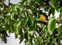 Small yellow bird Male Orange-fronted Yellow Finch in a tree - Cali, Colombia Stock Photos