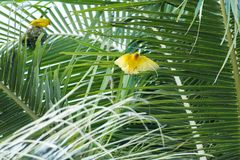 Small yellow bird nesting on a palm tree. A small yellow bird nesting on a palm tree Royalty Free Stock Photos