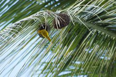 Small yellow bird nesting on a palm tree. A small yellow bird nesting on a palm tree Royalty Free Stock Image