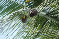 Small yellow bird nesting on a palm tree. A small yellow bird nesting on a palm tree Royalty Free Stock Images
