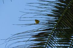 Small yellow bird nesting on a palm tree. A small yellow bird nesting on a palm tree Stock Image